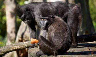 Мавпа втекла з клітки, щоб знайти свого коханого