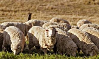 Чим слід годувати овець?