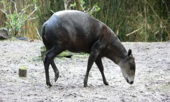 Чепрачний дукер - маловідома антилопа