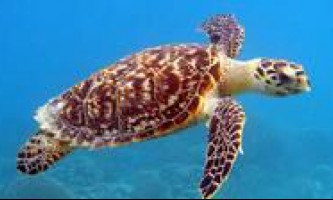 Черепаха бисса