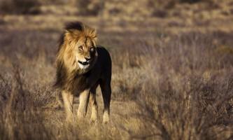 Чому леви гарчать