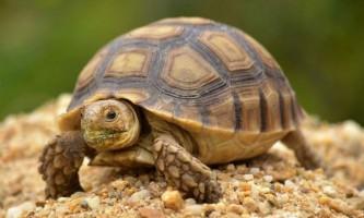 Черепахи: рептилії-довгожителі