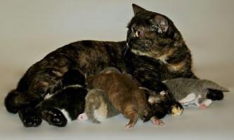 Черепаховий забарвлення британських кішок