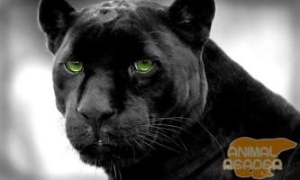 Чорна пантера - міфи і реальність