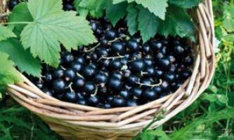 Чорна смородина: садимо, вирощуємо, заготовляємо