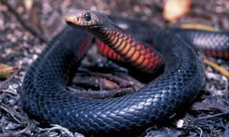 Чорна змія - ендемік австралії