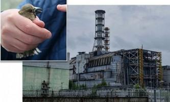 Чорнобильські птахи досить успішно адаптувалися до радіації