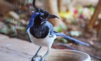 Черногорлая сороча сойка - особливості поведінки і роль птиці в природі