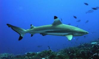 Чернопері рифова акула. Фото хижачки