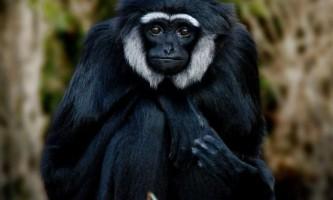 Чернорукіе гібони - активні деревні мавпи