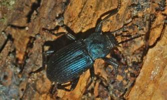 Чернотелки - особливості та значення жуків жуків