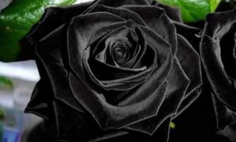 Чорні троянди halfeti