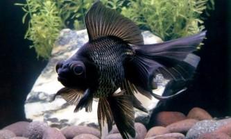 Чорні риби для домашнього акваріума