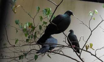 Чорний голуб - прикраса тихоокеанських островів