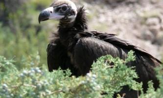 Чорний гриф - птах солідного польоту