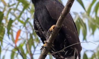 Чорний яструб - орел
