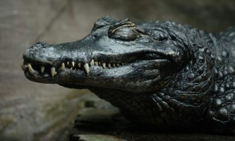 Чорний кайман - жива копалина амазонки