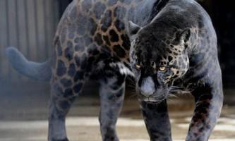Чорне забарвлення серед тварин