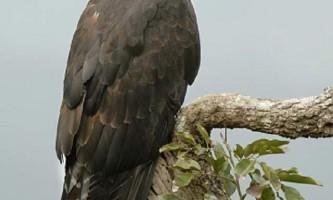 Чорний орел - птах, яка ніколи не сидить на місці