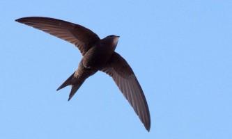 Чорний стриж - птах, яку нікому не обігнати