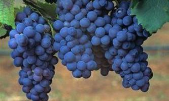 Чорний виноград. Знайомимося з кращими сортами