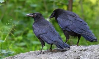 Чорний ворон - птах з пісень