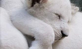 Чотири білих левенят народилися в сафарі-парку криму