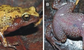 Чотири нових види жаб знайдені на мадагаскарі