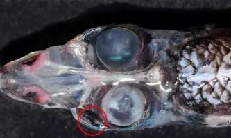 Чотириокого рибу зловили вчені в тасманове море