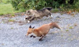 Чотирирічний кіт по кличці леон прогнав лисицю зі свого двору