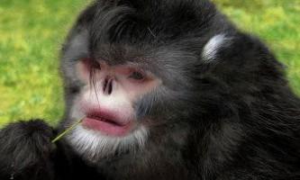 Чхають кирпаті мавпи знайдені в м`янмі