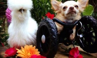 Чихуахуа-інвалід і лабораторний курча стали кращими друзями
