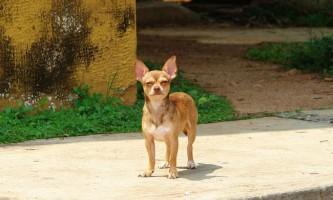 Чихуахуа потрапила в реєстр небезпечних собак