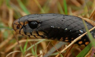 Чорна змія (лат. Pseudechis porphyriacus), або чорна єхидна