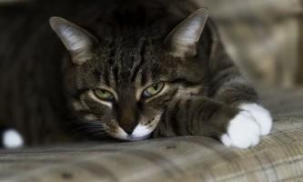 Що робити, якщо кішка чхає і у неї сльозяться очі?