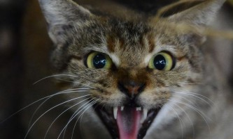 Що робити, якщо кішка кричить і хоче кота?