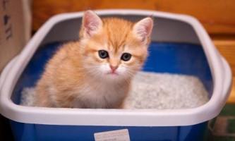 Що робити, якщо з`явилася кров у сечі у кота - причини і лікування захворювання