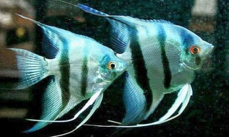 Що робити, якщо скалярии нерестяться в загальному акваріумі