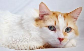 Що робити, якщо у кота запор: лікування в домашніх умовах