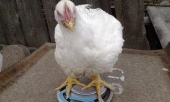 Що робити з птахом, якщо бройлери не набирають вагу