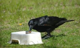 Що і як краде ворона?