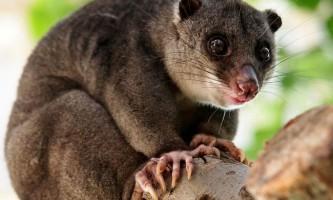 Що відомо про сумчастих кротів, мурахоїдів, мишах і інших двійників плацентарних ссавців?