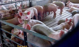Що необхідно знати про таке захворювання як рожа свиней