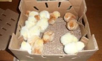Що потрібно знати про зміст курчат