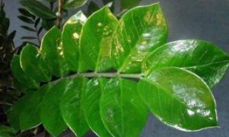 Що потрібно знати при посадці і вирощуванні доларового дерева, поради квітникарів