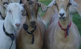 Що потрібно знати, вибираючи козу