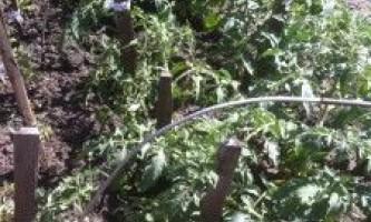 Посадка томатів у відкритий грунт