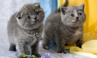 Що таке розплідник британських кішок?