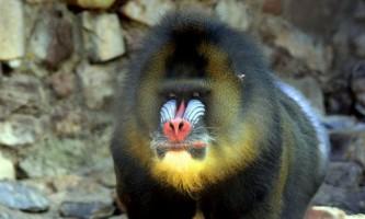 Що за мавпа - сфінкс?