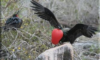 Що за птах великий фрегат?